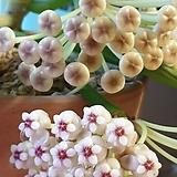 호야.매화호야(아이보리.크림색의붉은립프.별사탕모양꽃).꽃색깔예뻐요.잎모양도 예뻐요.향기좋은향.인테리어효과.공기정화식물.꽃눈있어요.|