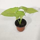 네온 싱고니움 싱고디움 실내공기정화식물 식물인테리어 반음지식물|