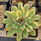 여제금232|Echeveria pulidonis