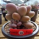 라우이.아메치스 교배종|Graptopetalum amethystinum
