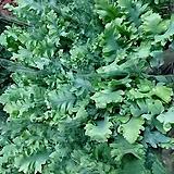 다바나고사리  20개 한정품 잎이 러블리한 느낌~|Echeveria Lovely