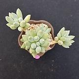 경미인|Pachyphytum oviferum cv. Kyobijin