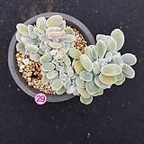 백금황성|Echeveria pulvinata