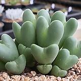 축전 409-7137|Conophytum bilobum
