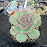 스트로베리아이스9-3598 Echeveria Strawberry ice