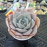 릴리시나hy9-3627|Echeveria lilacina