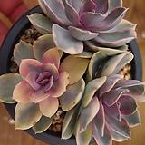 웨스트레인보우컷팅092441|Echeveria rainbow