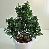 (단품)진산회나무|