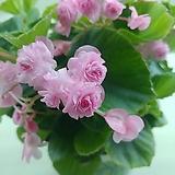팝콘베고니아 분홍|