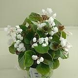 팝콘베고니아 흰꽃|