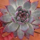 원종콜로라타092445|Echeveria colorata