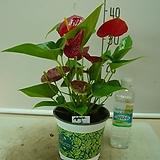 안시륨(쎅세스)2-인기식물-피고지고-동일상품배송|
