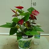 안시륨(쎅세스)3-인기식물-피고지고-동일상품배송|