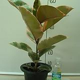 루비고무나무14번-루비비단결 고운색상이환상-동일품배송|