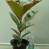 루비고무나무15번-루비비단결 고운색상이환상-동일품배송|
