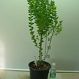 삼각잎아카시아13번-샥스핀 황금아카시아-동일품배송|