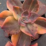 연봉금자연군생0925|Graptopetalum bainesii f. variegata