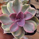 웨스트레인보우092465|Echeveria rainbow