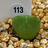 리갈(SB793) 실생 113|