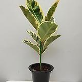 수채화고무나무 잎깨끗한아이/동일품배송 |