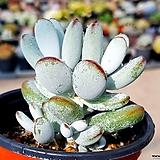방울복랑 14-79|Cotyledon orbiculata cv