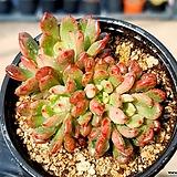 핑클루비 14-81|Sedeveria pink rubby