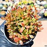 라디칸스 14-123|Crassula pubescens Radicans