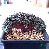 룬데리,철화3295|Echeveria setosa v deminuta