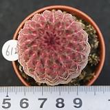 612 자태양|Echinocereus rigidissimus Purpleus