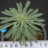 623 괴마옥|Euphorbia hypogaea