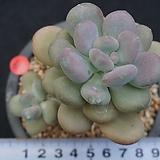 643 월미인|Pachyphytum oviferum Tsukibijin