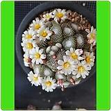 (앞꽃모습) 송로옥 (접목) (Blossfeldia liliputana) 중대품|
