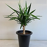 유카/공기정화식물/반려식물/온누리 꽃농원|