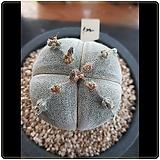 반야 온즈카 국내실생  중대품|Astrophytum myriostigma cv. ONZUKA