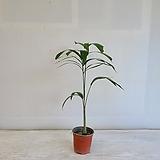 여우꼬리야자/공기정화식물/반려식물/온누리 꽃농원|