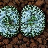 C.ursprungianum 우르스프런기아눔(綠中央녹중앙) 278 