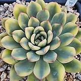 황홀한연꽃금|Echeveria pulidonis