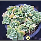 레몬로즈철화,2020,09/25|Echeveria Lemon Rose