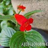 시마니아에바타(구근식물)|