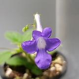 보라꽃삭소롬|