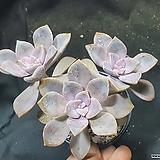 퍼플딜라이트자연군생|Graptopetalum Purple Delight