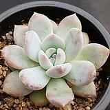 성영 9239|Echeveria elegans Potosina
