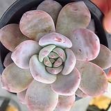 성영092604|Echeveria elegans Potosina