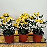 노랑바람개비사랑초( 꽃봉우리가 많아요) 새로입고