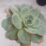 핑크플로라9286|Echeveria Derenceana(lola)