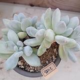 후레뉴9238|Pachyphytum cv Frevel