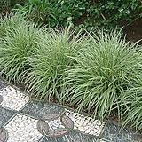 카페 정원 조경 인테리어 갈대 상록무늬사초 무늬모로위사초 포트 (3포트) 