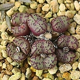 C.pageae 'subrisum' PV1014 (Aalwynsfontein) _ 코노피튬 씨앗(서브리즘 10립)
