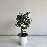 암근교동백/공기정화식물/반려식물/온누리 꽃농원|