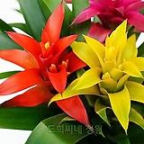 도희씨네 정원>> 색감 고운 구즈마니아 미니 삼색체리 190|